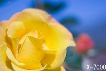 秋バラ2011‐3.jpg