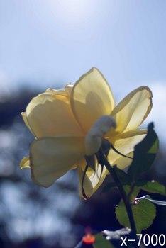 秋バラ2011‐7.jpg